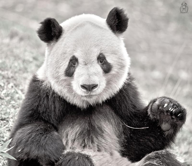 Panda uit Madrid Zoo